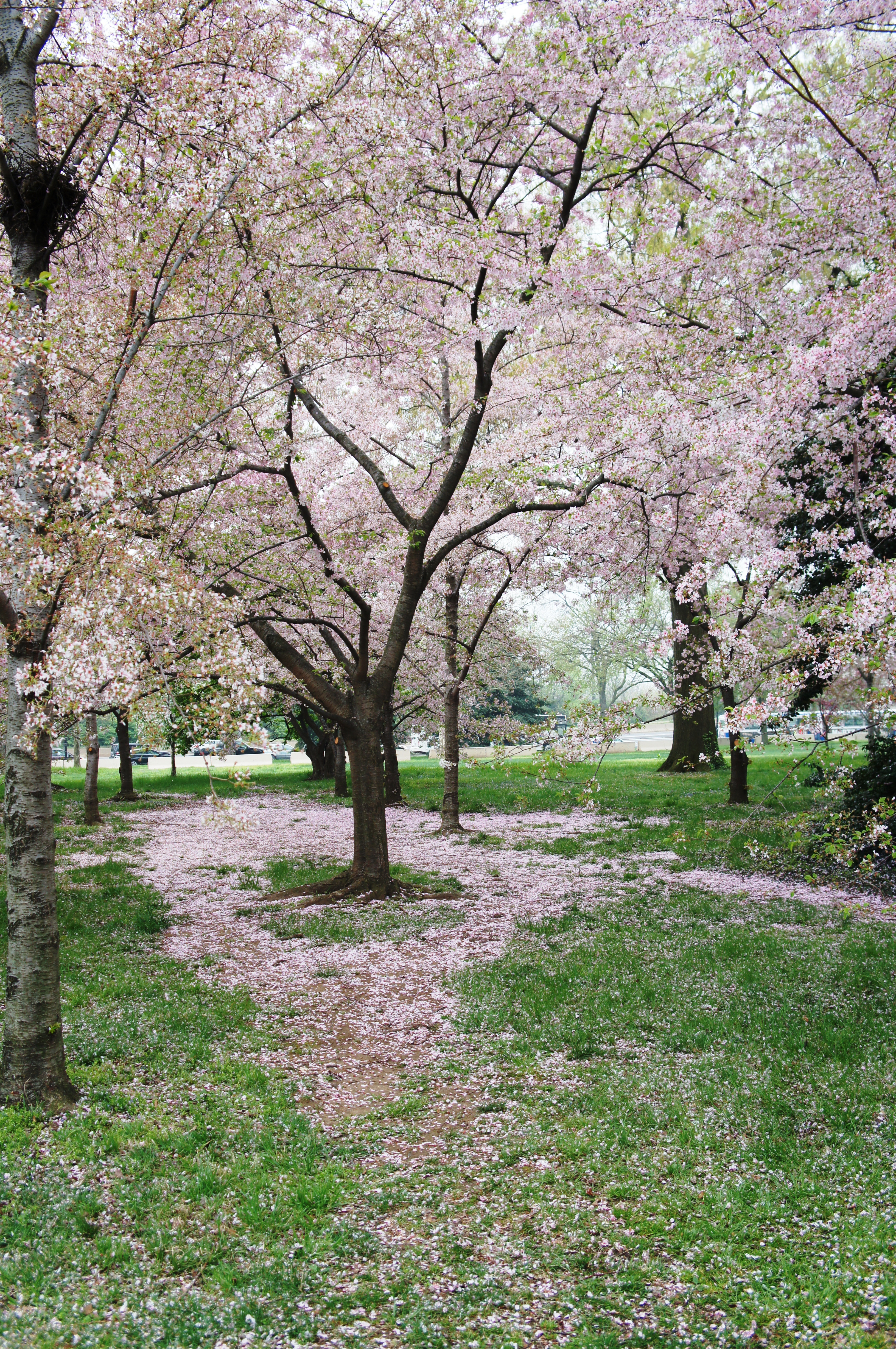 Visit to the DC Cherry Blossom Festival   Becoming a Modern Proverbs ...